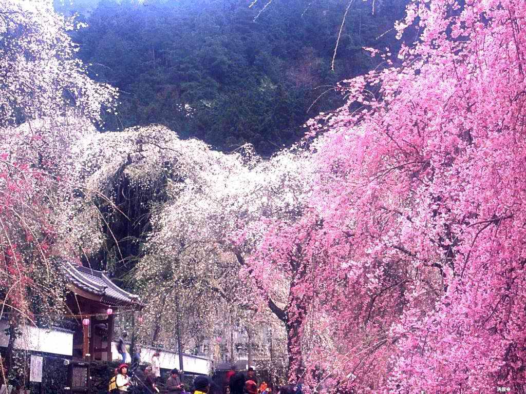 В галереюцветущей сакуры